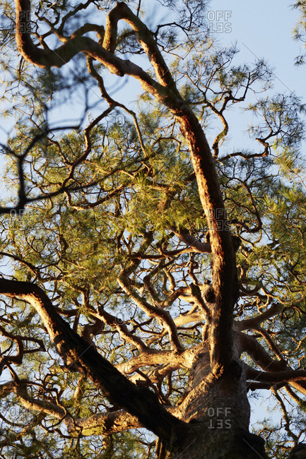 Branches of a pine tree at sunset