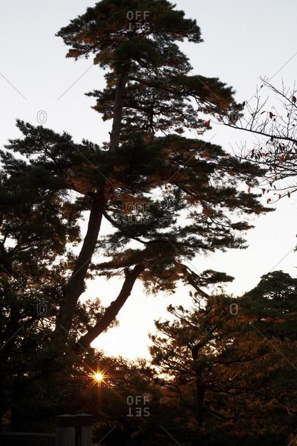 Trees at sunset in the Kenrokuen Garden, Japan
