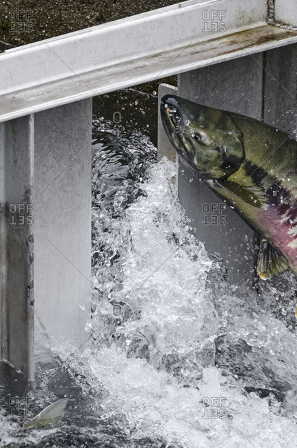 Fish ladder with Chum Salmon leaping to clear chute at top at Macaulay Salmon Hatchery in Juneau, Alaska