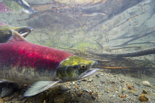 Close up of female sockeye salmon in Cordova, Alaska