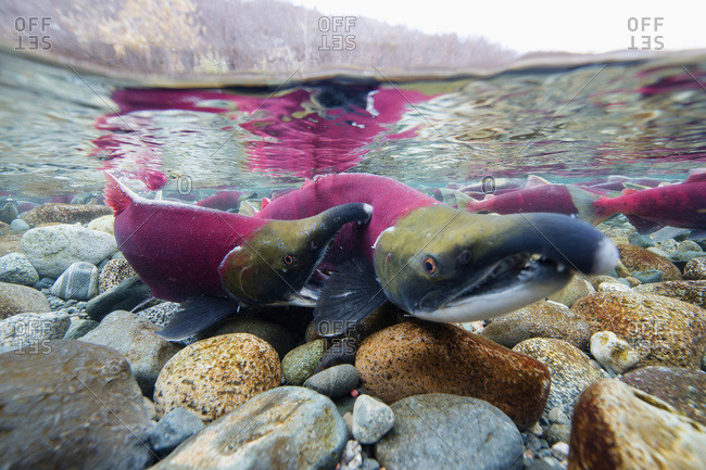Red salmon fighting in shallow water in Paxson, Alaska