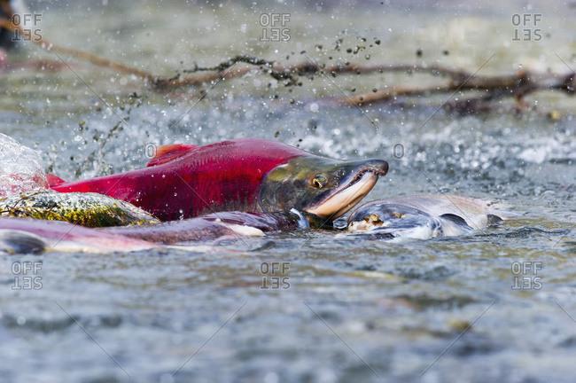 Sockeye salmon (Oncorhynchus nerka) struggles over sandspit in Paxson, Alaska
