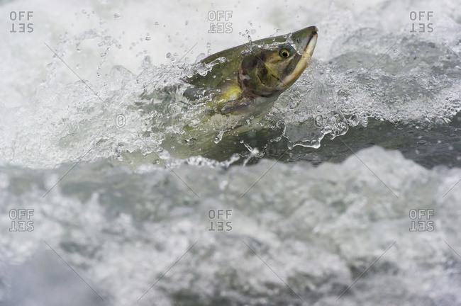 Pink Salmon (Oncorhynchus gorbuscha) jumping upstream in Valdez, Alaska