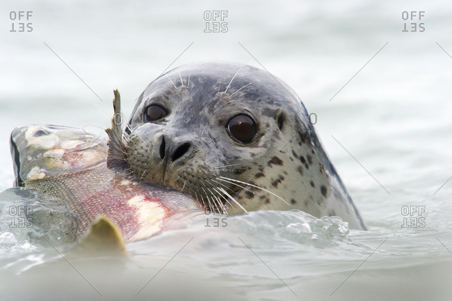 Seal with Silver Salmon in it's mouth in Valdez, Alaska