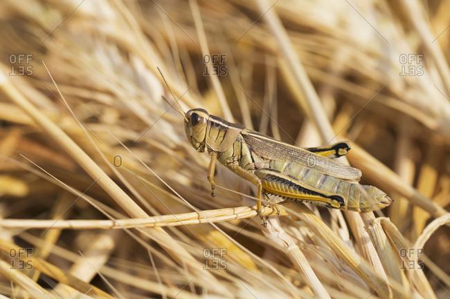 Close up of a grasshopper on ripe cut wheat in Alberta, Canada