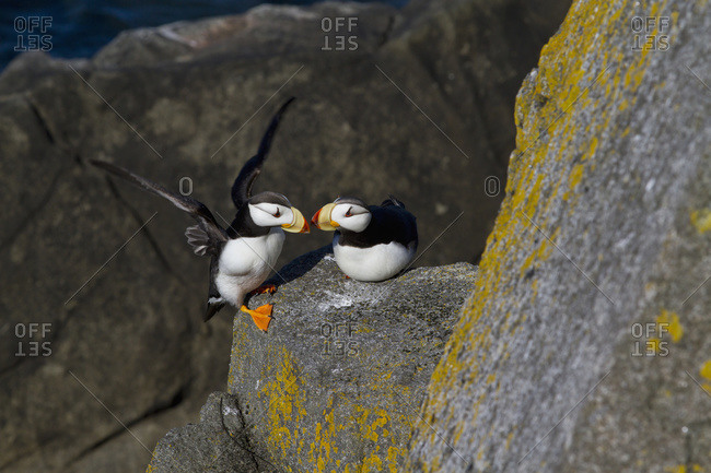 Pair of Horned Puffins perched on a lichen covered boulder in Walrus Islands State Game Sanctuary, Round Island, Bristol Bay, Alaska
