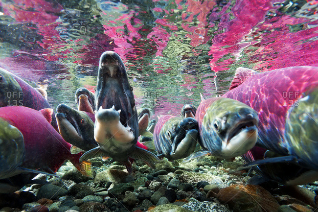 Sockeye salmon (Oncorhynchus nerka) underwater in Paxson, Alaska