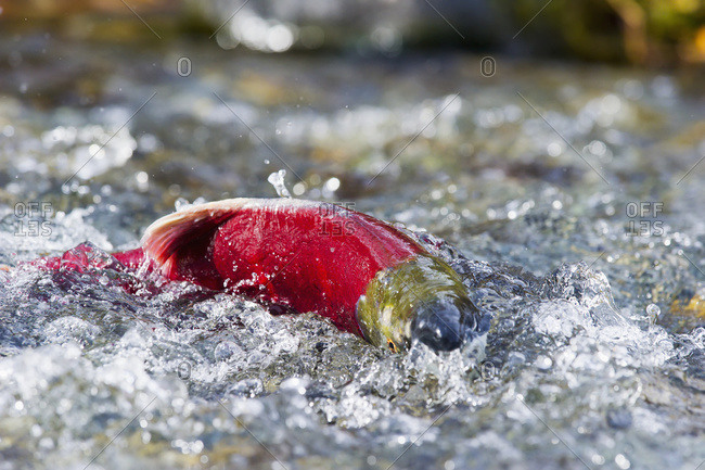 Sockeye salmon (Oncorhynchus nerka) in a mountain stream in Paxson, Alaska