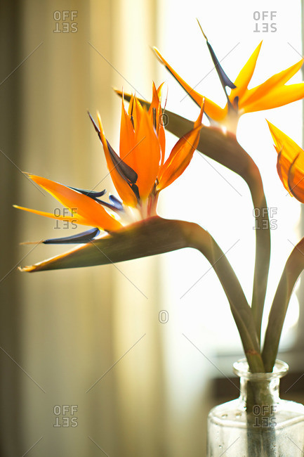 Vase with bird of paradise flowers