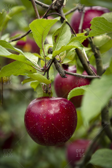 Ripe red apples dangling from a branch
