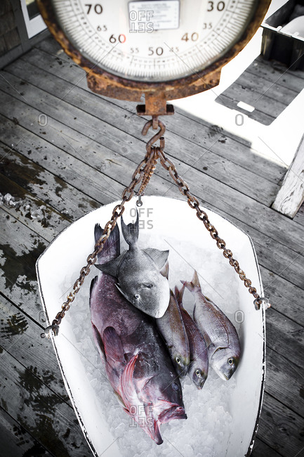 Fresh fish on a scale