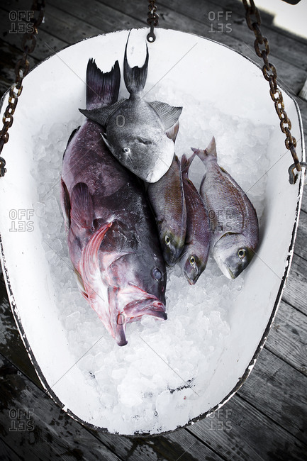 Fresh fish being weighted on a scale