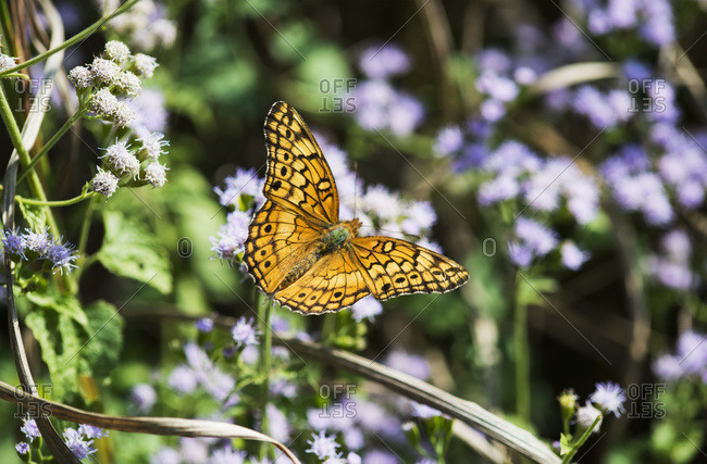 A Fritillary Butterfly (Euptoieta claudia) in Tahlequah, Oklahoma
