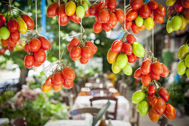 Ripe and unripe tomatoes hanging in Lasithi Plateau, Crete, Greece