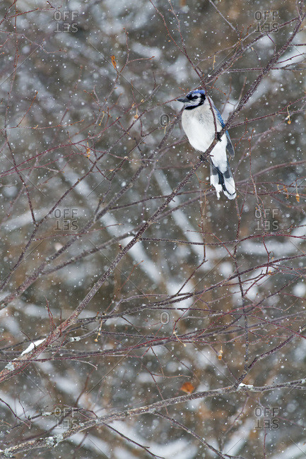 Blue jay (Cyanocitta cristata) perched on a branch under snowfall in Quebec, Canada