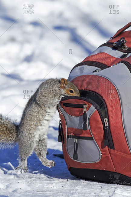 Eastern grey squirrel looking in a backpack in Quebec, Canada