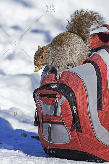 Eastern grey squirrel stealing a peanut from a backpack in Quebec, Canada