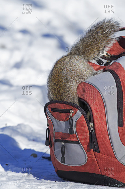 Eastern grey squirrel getting in a backpack in Quebec, Canada
