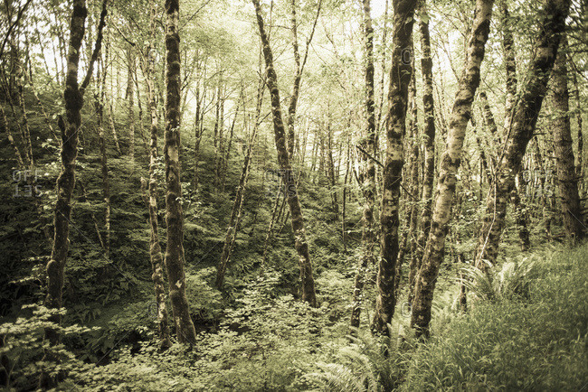 Birch trees covered in moss in Portland, Oregon