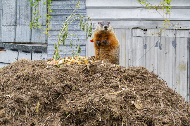 Marmot (Marmota monax) feeding on a pile of compost in Quebec, Canada