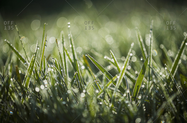 Close-up of dew on grass in Astoria, Oregon