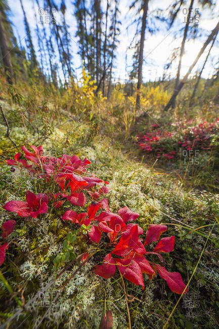Bright red Bearberry in the boreal forest near Fairbanks, Interior Alaska