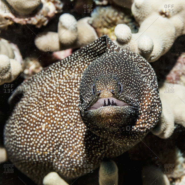 Whitemouth Moray Eel (Gymnothorax meleagris) and coral reef, Kona, Island of Hawaii