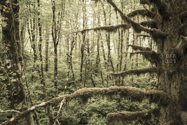 Mossy tree trunks in the woods in Portland, Oregon