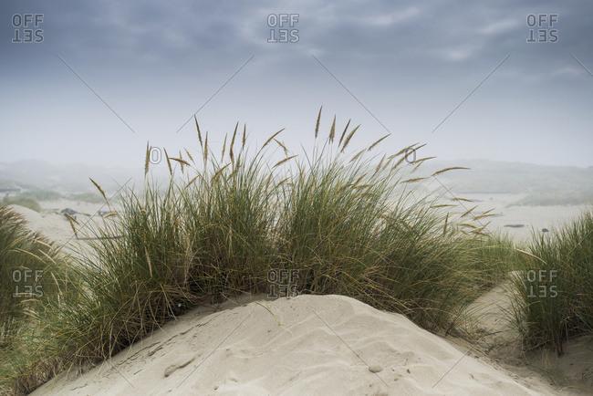Dune grass along the Oregon coast