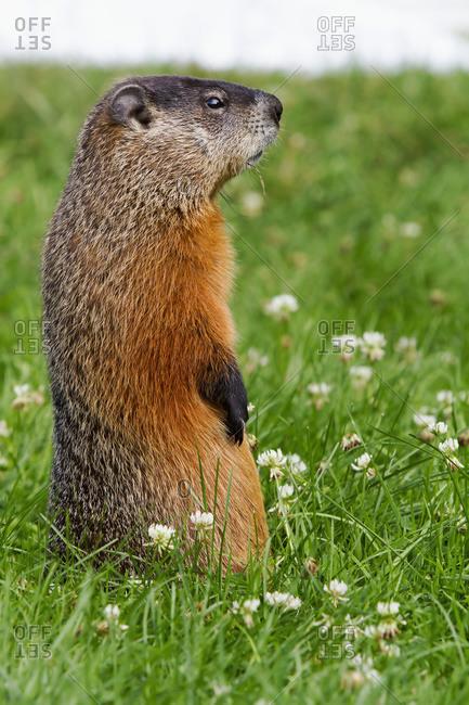 Marmot (Marmota monax) standing in a garden in Quebec, Canada