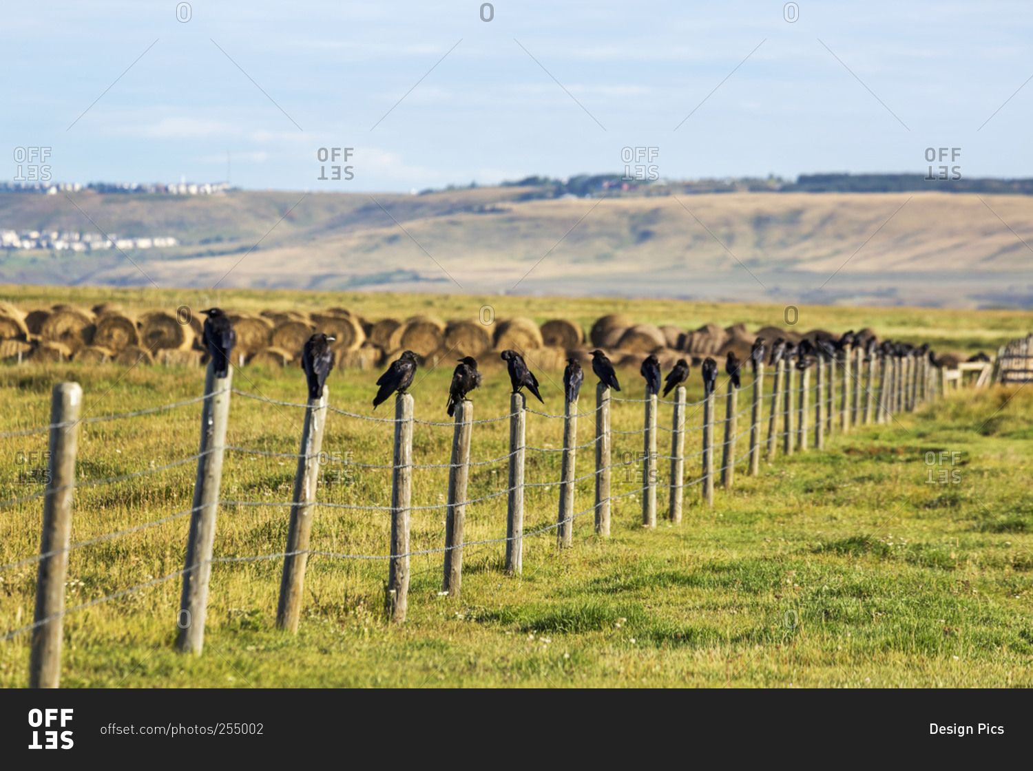 crows in a row on top of wooden fence posts in alberta canada