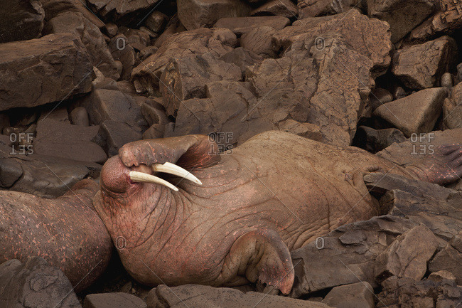 Two Pacific walrus males resting side-by-side at Walrus Islands State Game Sanctuary, Round Island, Bristol Bay, Western Alaska