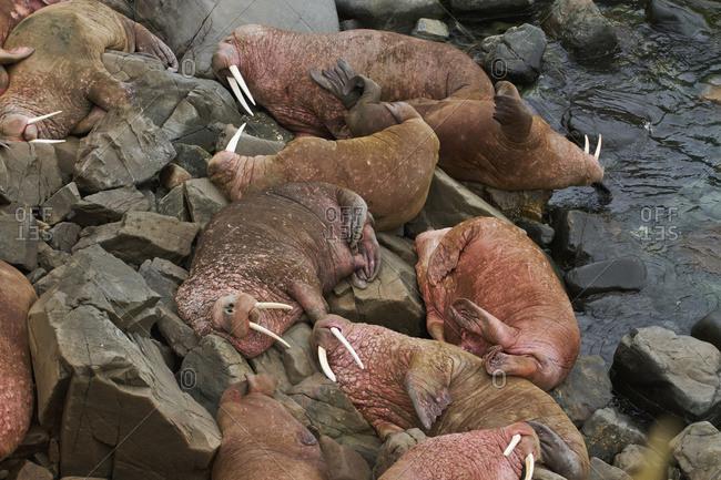 Group of male Pacific walrus (Odobenus rosmarus) at Walrus Islands State Game Sanctuary, Round Island, Bristol Bay, Western Alaska, USA