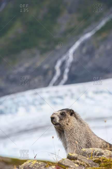 Hoary Marmot with Exit Glacier in the background at Kenai Fjords National Park, Alaska