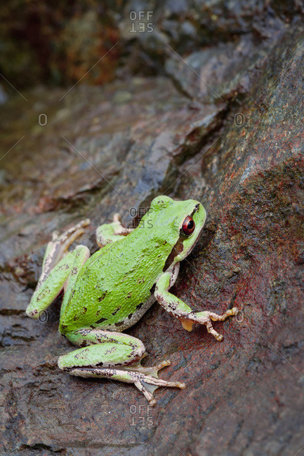 Pacific tree frog (Pseudacris regilla) in Nanoose Bay, British Columbia, Canada