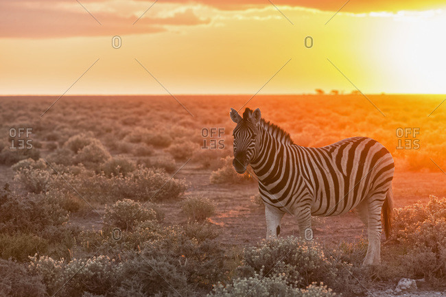 Plains zebra by sunset, Etosha National Park