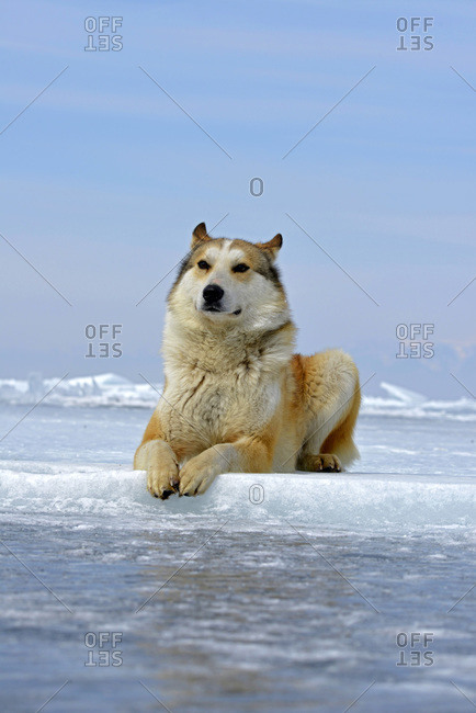 Siberian Husky lying on frozen lake, Lake Baikal