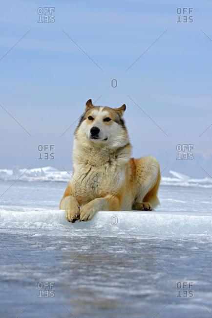 Siberian Husky lying on frozen lake, Lake Baikal