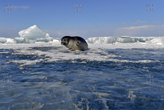 Baikal seal at an ice hole, Lake Baikal