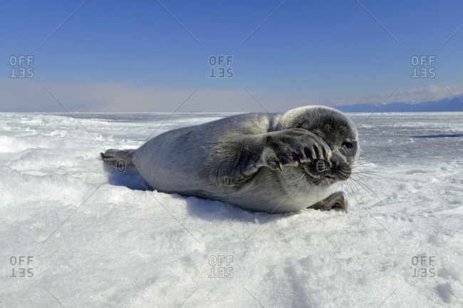 Baikal seal on frozen lake, Lake Baikal