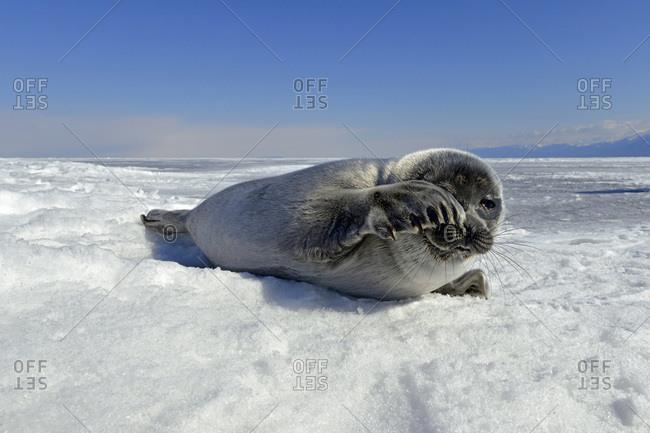 Baikal seal on frozen lake, Lake Baikal