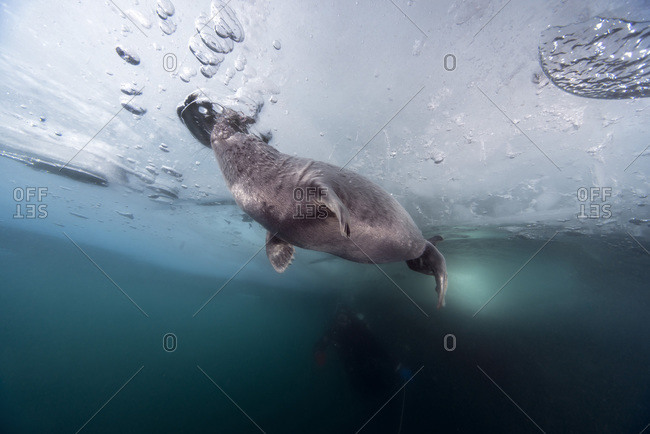 Ice diver with Baikal seal under water, Lake Baikal