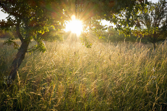 Meadow with grasses and tree in the morning light