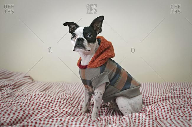 Boston terrier in jacket on bed