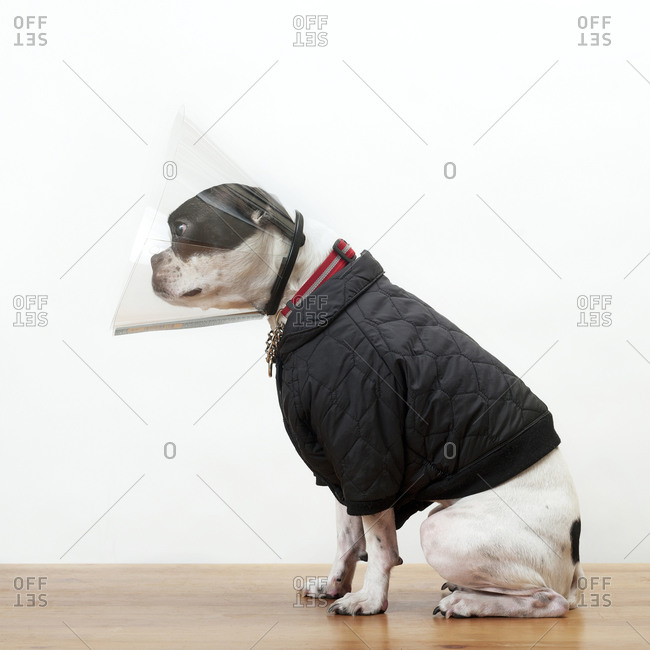 Boston terrier in jacket and head cone