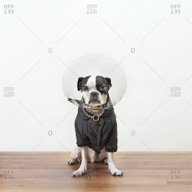Boston terrier in jacket and protective cone
