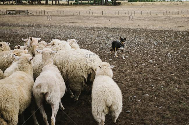 A sheep dog corrals sheep