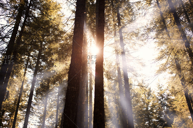 Sunbeams through a forest of towering trees