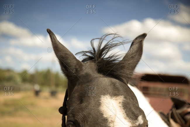 Top of a horse's head and ears