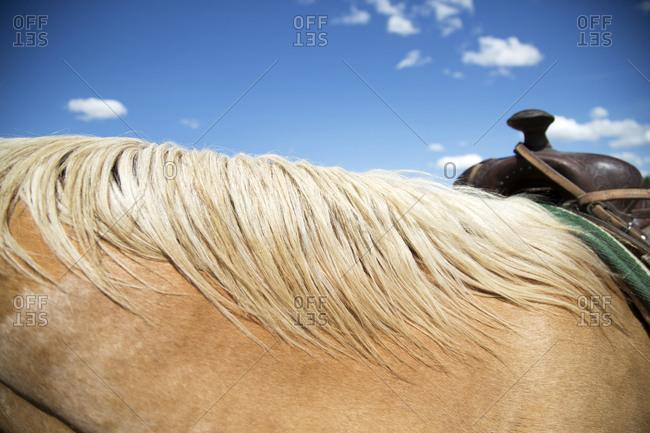 Mane and flank of horse wearing saddle